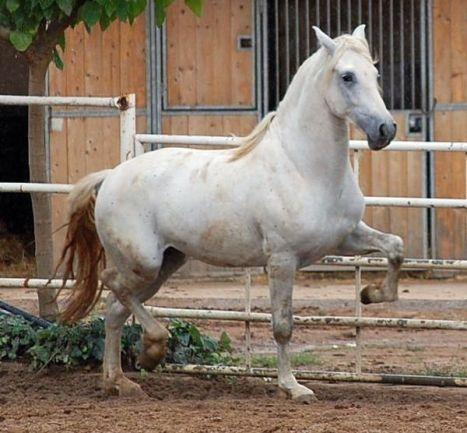 cavallo cartujanos