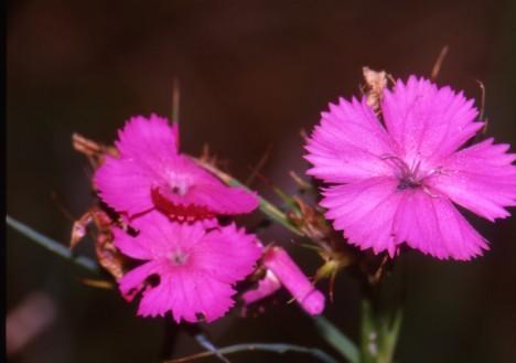 Dianthus carth.