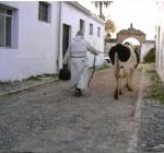 31-monaco-con-mucca